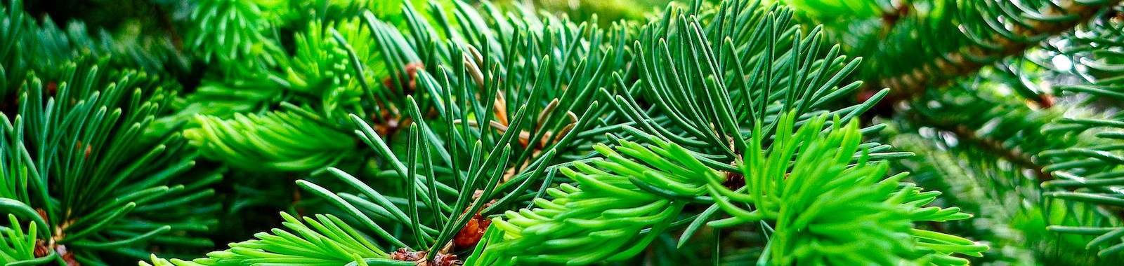 New growth of pine tree branches.