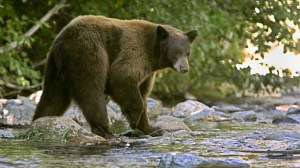 tahoe-bear