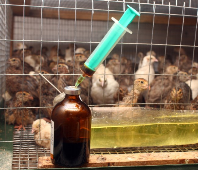 antibiotics in a chicken factory farm