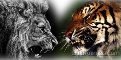 Lion Vs Tiger Hd Pics - impremedia.net