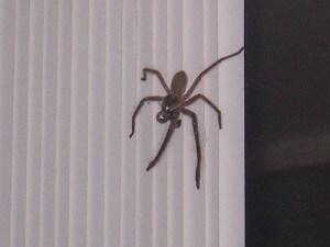 Spider Oz