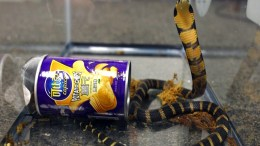 This undated photo provided by U.S. Fish and Wildlife shows a king cobra hidden in a potato chip can that was found in the mail in Los Angeles. (AP)