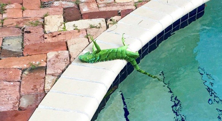 An iguana that froze lies near a pool after falling from a tree in Boca Raton, Fla., Thursday, Jan. 4, 2018. (AP)