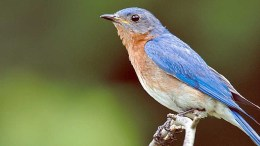 Bluebird nesting boxes built by staff at the Pennsylvania Game Commission's Howard Nursery are available for sale. (Metro)