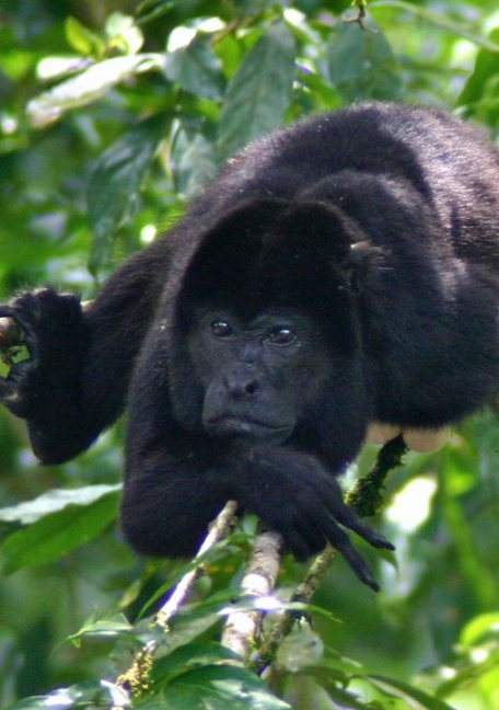 Howler Monkey in Tirimbina Reserve, Costa Rica