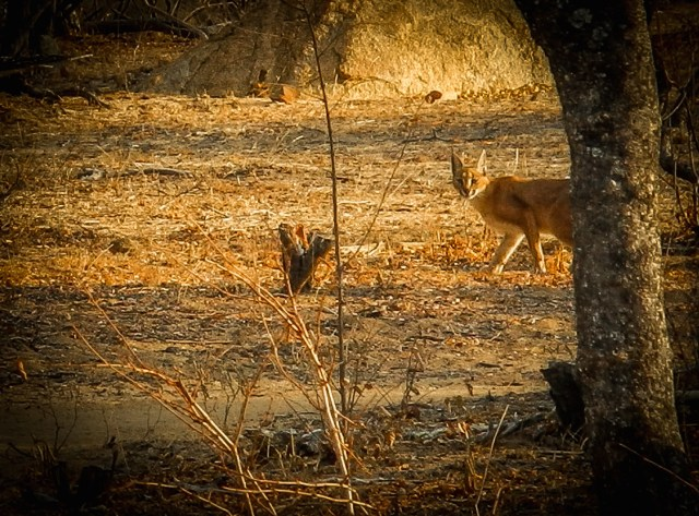 Wild Rivers Nature Reserve Caracal