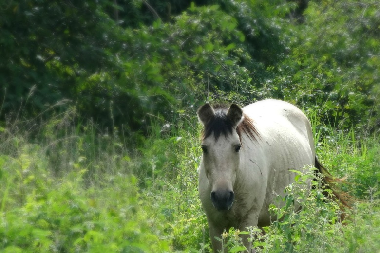 The Wild Horses of Vieques, Puerto Rico