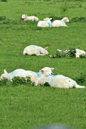 Happy Lamby-lambs!