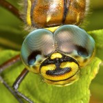 dragonfly eyes - animals with unique eyes