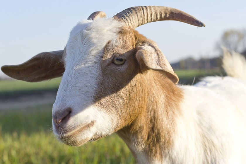 goat - animals with unique eyes