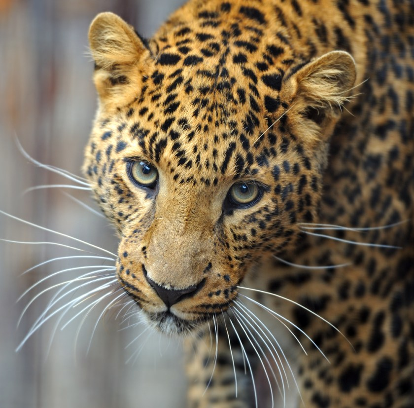 jaguar - animals with unique eyes