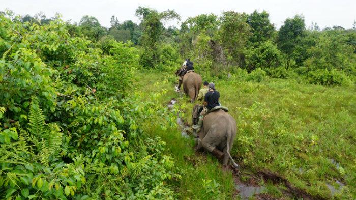 Elephants patrol at Tesso Nilo National Park