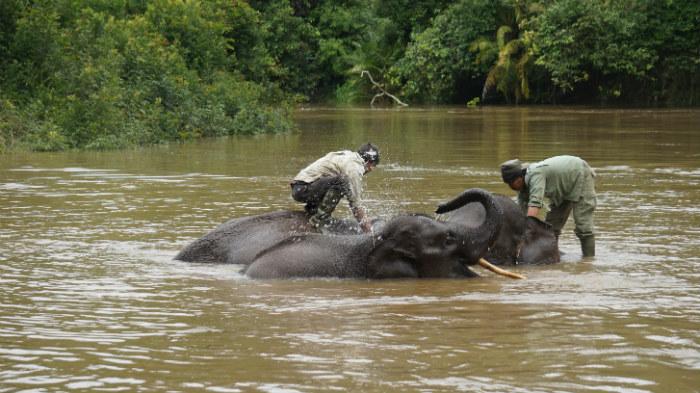elephants take bath at Nilo river
