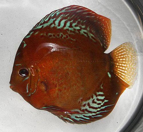 Stendker Discus   Discus Fish Sales USA