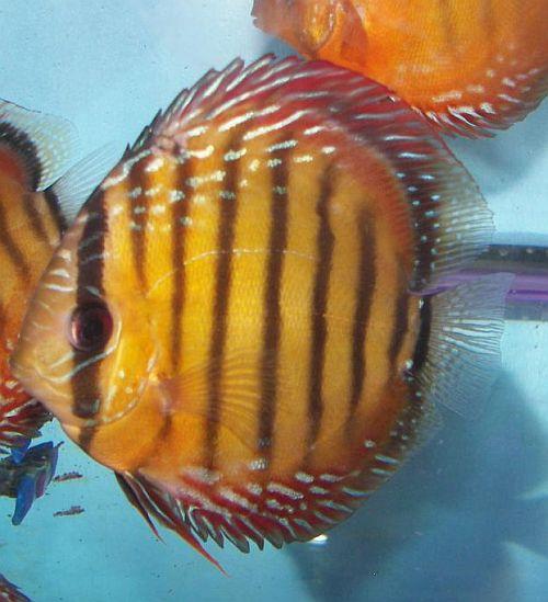 Wild Discus ?Manacapuru Red?   Discus Fish Sales USA