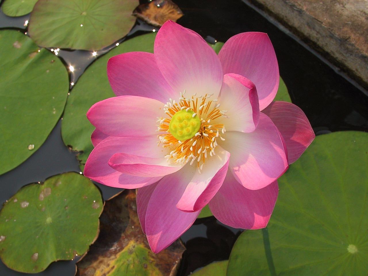 Divine Lotus Healing Sessions Lotus Header