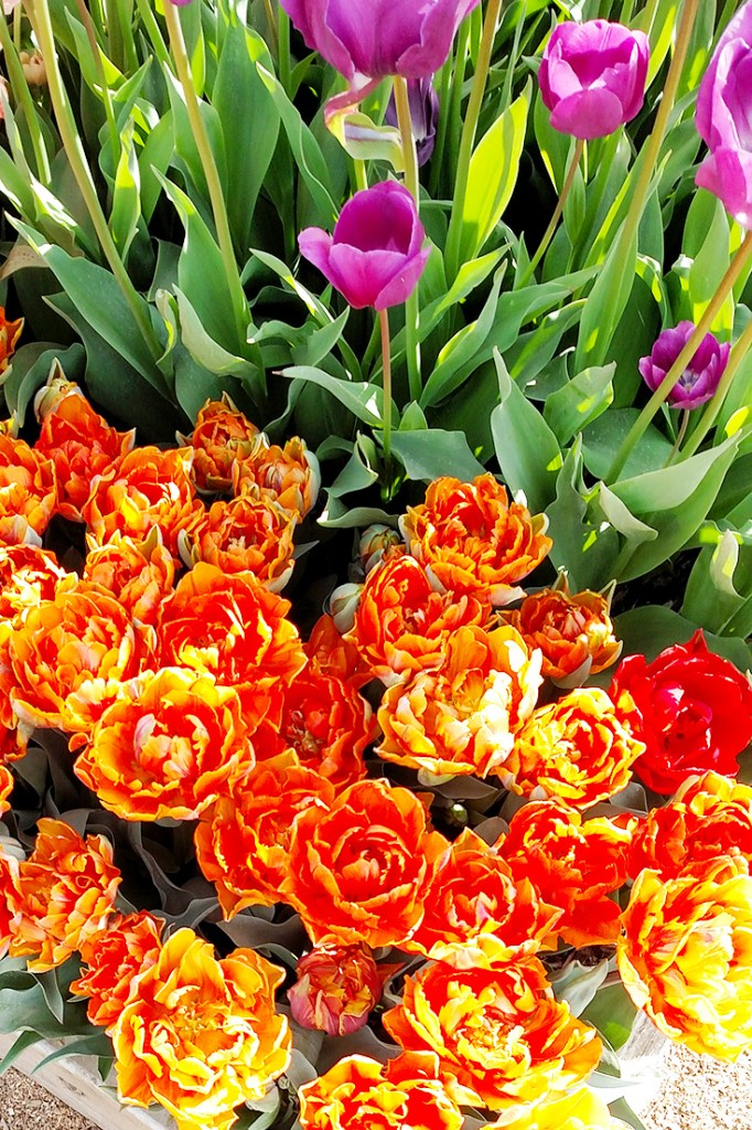 Fancy tulips at Wooden Shoe Tulip Farm