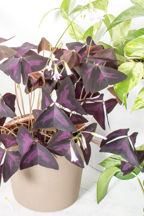 Bored with green? Here are a few purple plants to add to your indoor jungle