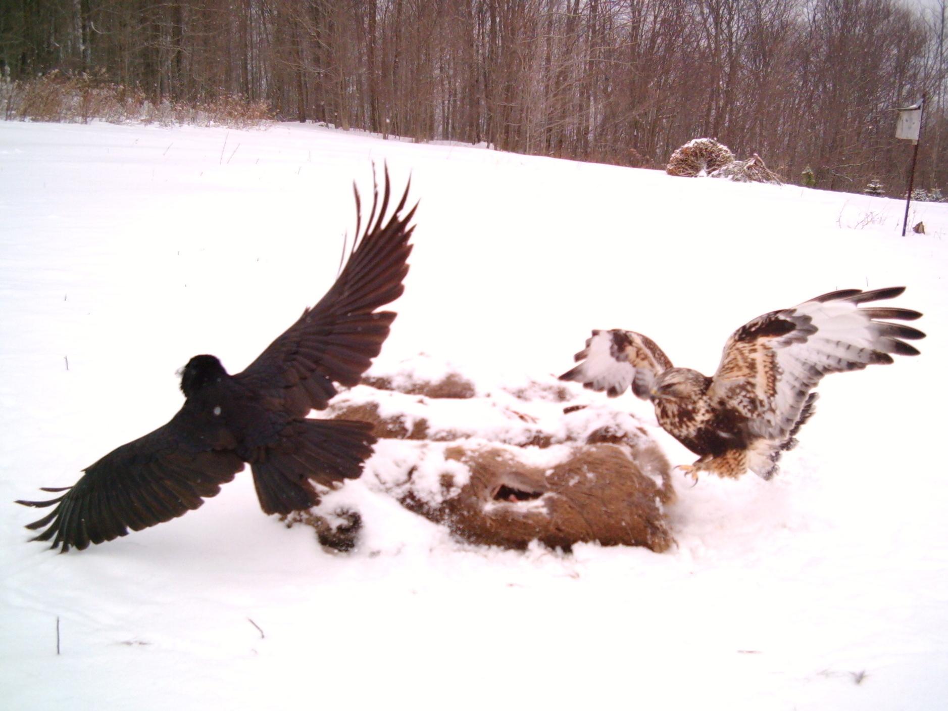 Relaxing Hawk Chases Common Raven Hawk Chases Common Raven Audubon Society Eagle Vs Hawk Images Eagle Vs Hawk Ippo dpreview Eagle Vs Hawk