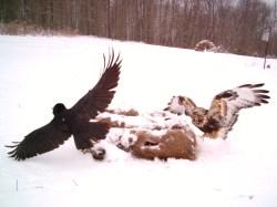 Small Of Eagle Vs Hawk