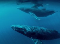 Humpback Whales Blu-ray screen shot 6
