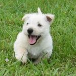 Is a Scottish Terrier Puppy Right for You & Your Family?