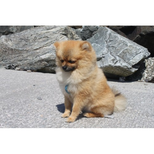 Medium Crop Of Corgi Pomeranian Mix