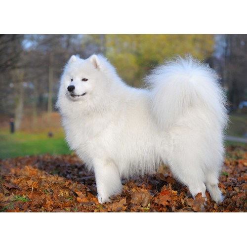 Medium Crop Of Samoyed Husky Mix