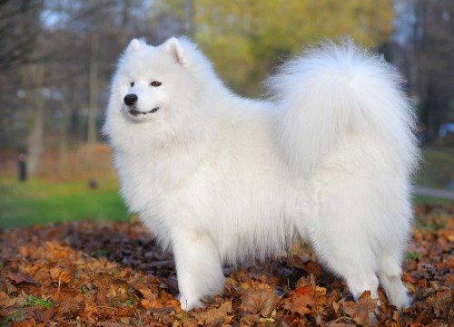 Medium Of Samoyed Husky Mix