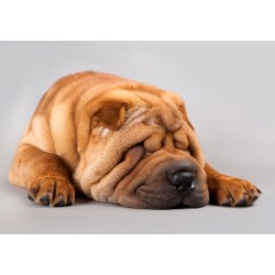 Small Crop Of Miniature Shar Pei