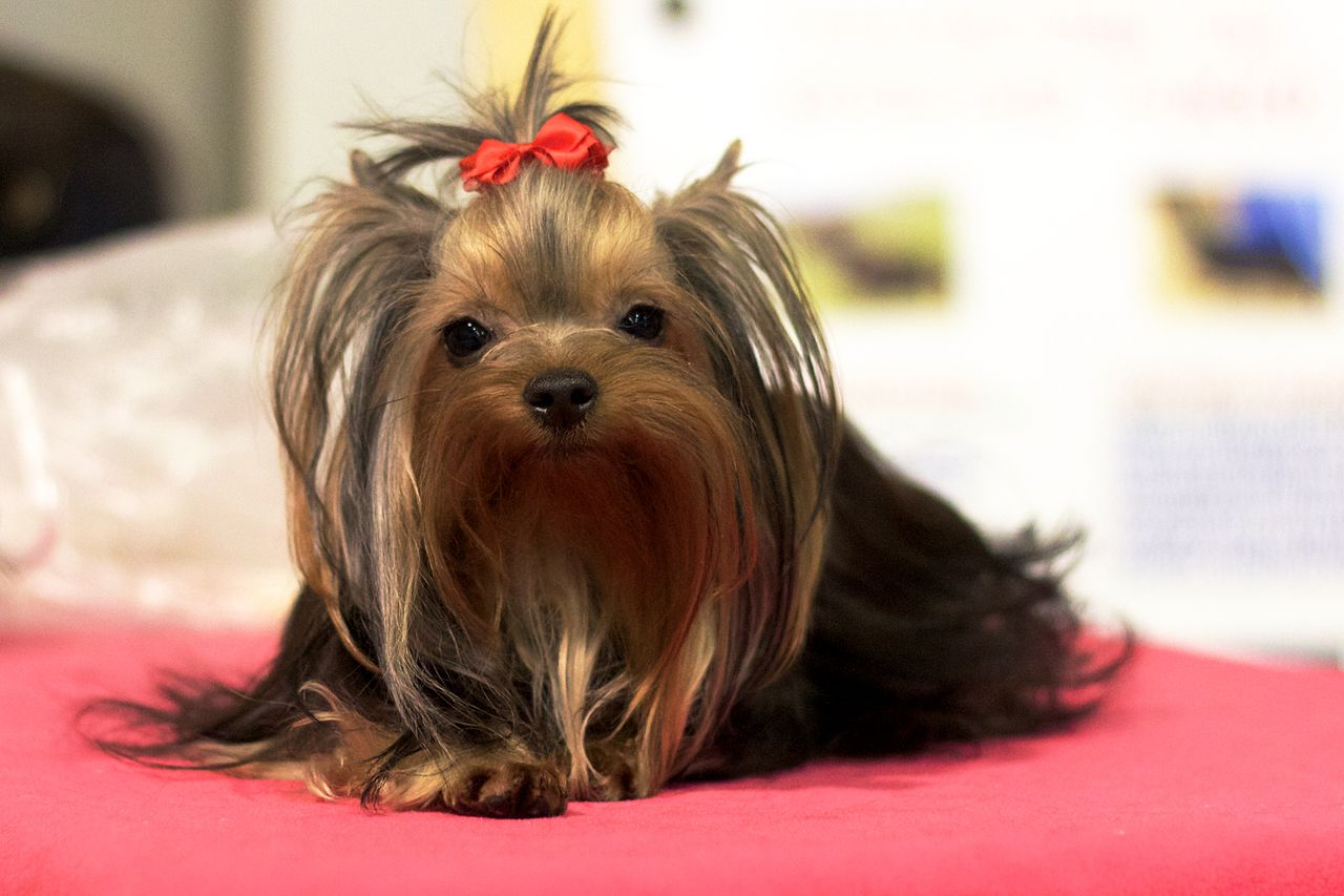 Great Dog Clippers Yorkies Dog N Treats How To Groom A Yorkie Puppy Cut At Home How To Groom A Yorkie Poodle Mix bark post How To Groom A Yorkie