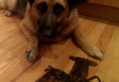 Dog protects a lobster from death