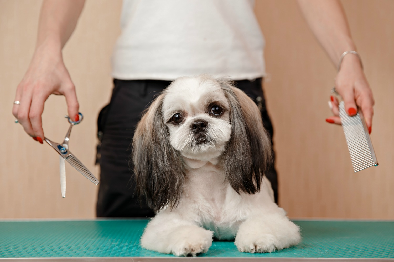 Cozy It May Save Some Money To Do Shih Tzu Grooming But It Takes A Diy Shih Tzu Grooming Tips How Often Shih Tzus Need Pro Shih Tzu Grooming Ideas Shih Tzu Grooming At Home bark post Shih Tzu Grooming