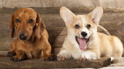 Small Of Corgi Mix Puppies For Sale