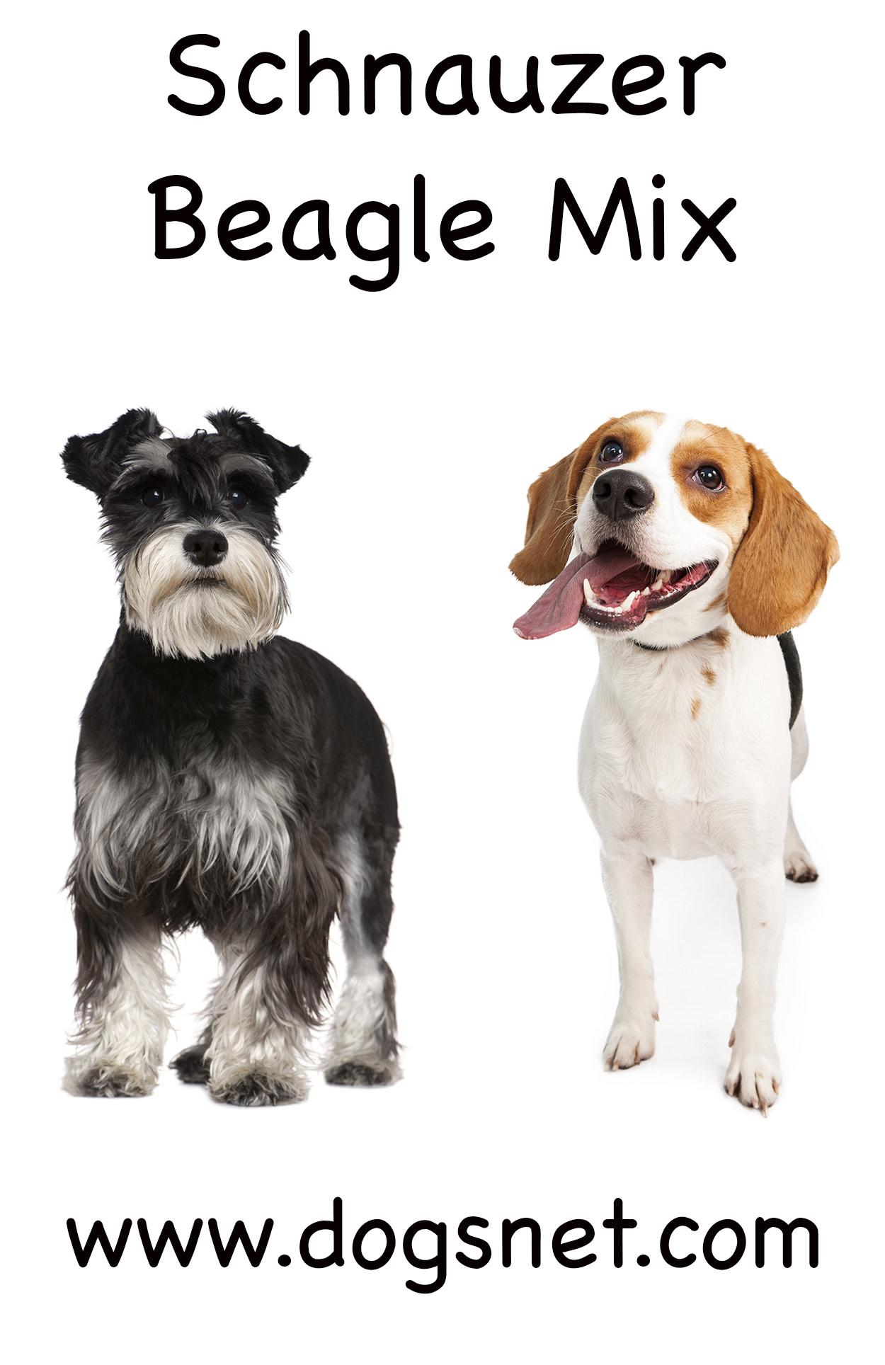 Fullsize Of Beagle Corgi Mix