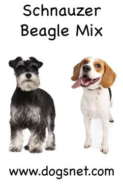 Small Of Beagle Corgi Mix