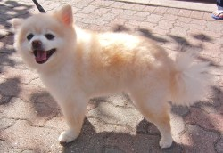 Small Of Pomeranian Corgi Mix