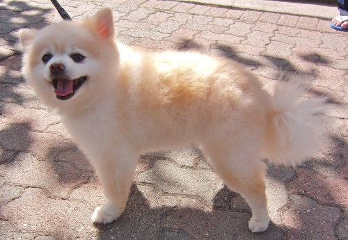 Medium Of Pomeranian Corgi Mix