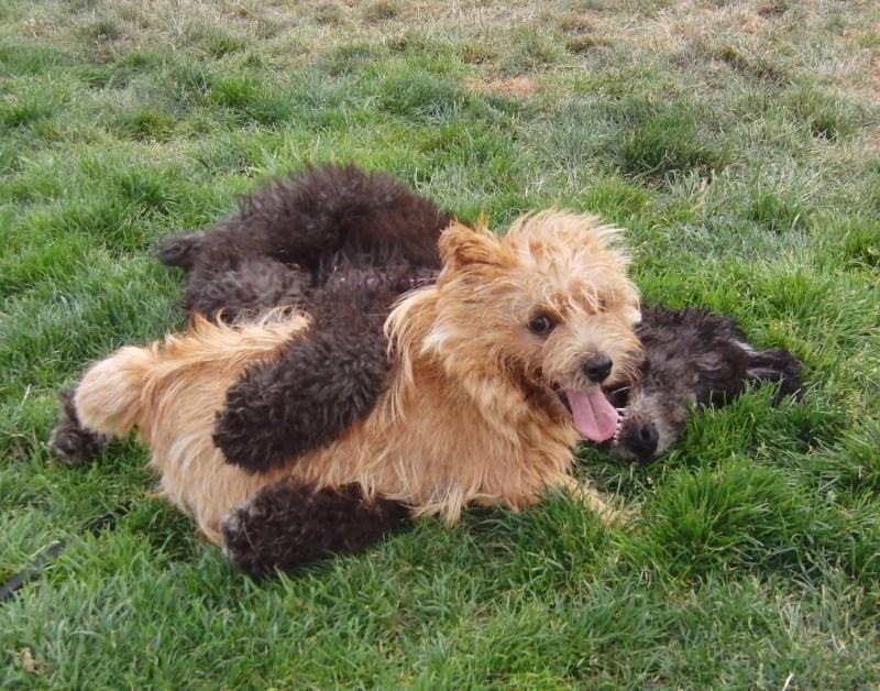 Large Of Corgi Poodle Mix