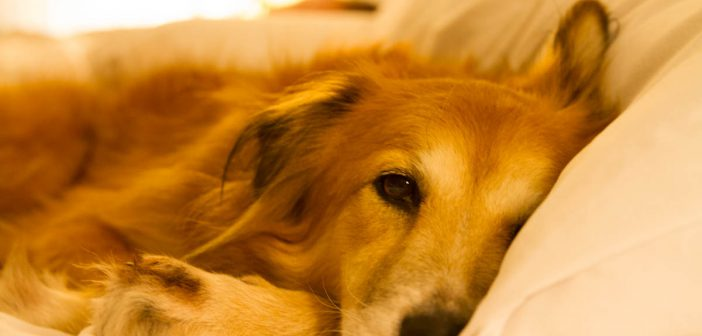 Natural remedy for dog diarrhea: slippery elm
