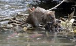 tikus dan banjir