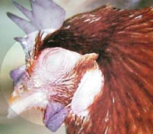 flu_burung1