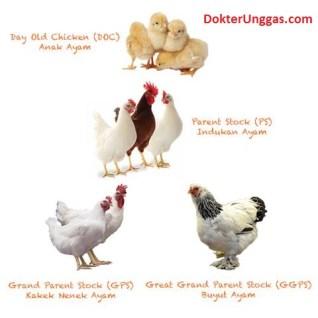 keturunan ayam