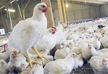 ayam broiler karena suntik hormon