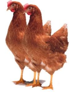 pullet ayam petelur