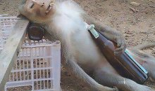 Drunk-Monkey-Funny-Picture