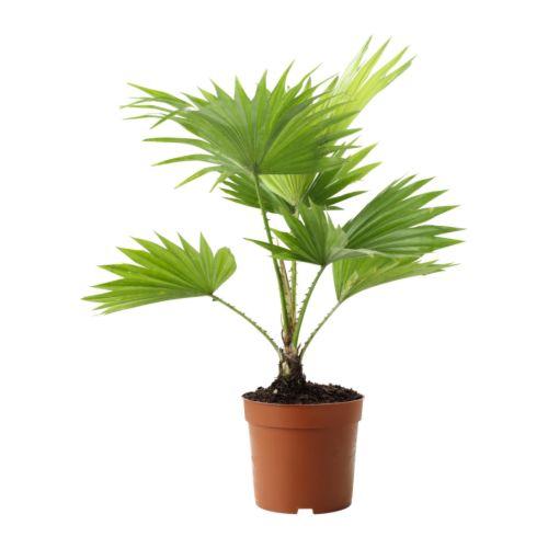 livistona-rotundifolia-potted-plant__67466_PE181307_S4