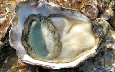 A scientific San Miguel study: Are oysters really an aphrodisiac?