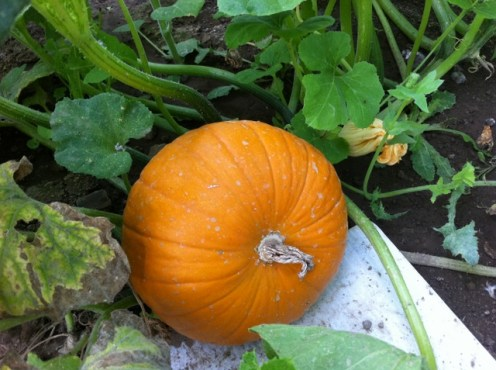 how to get more female flowers on pumpkins
