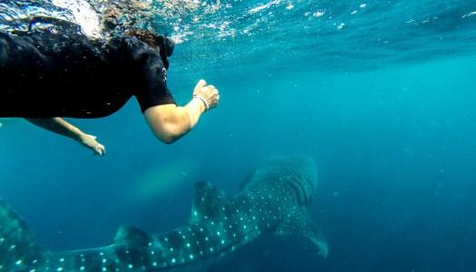 Nade com tubarão baleia – Inesquecível experiência em Cancun